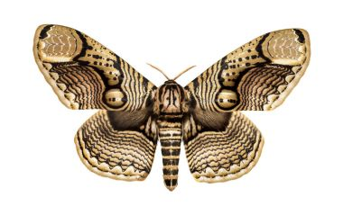 Butterfly Brahmaea hearseyi