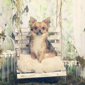 Fotografia Chihuahua che si siede su un cuscino, in decorazione pastorale