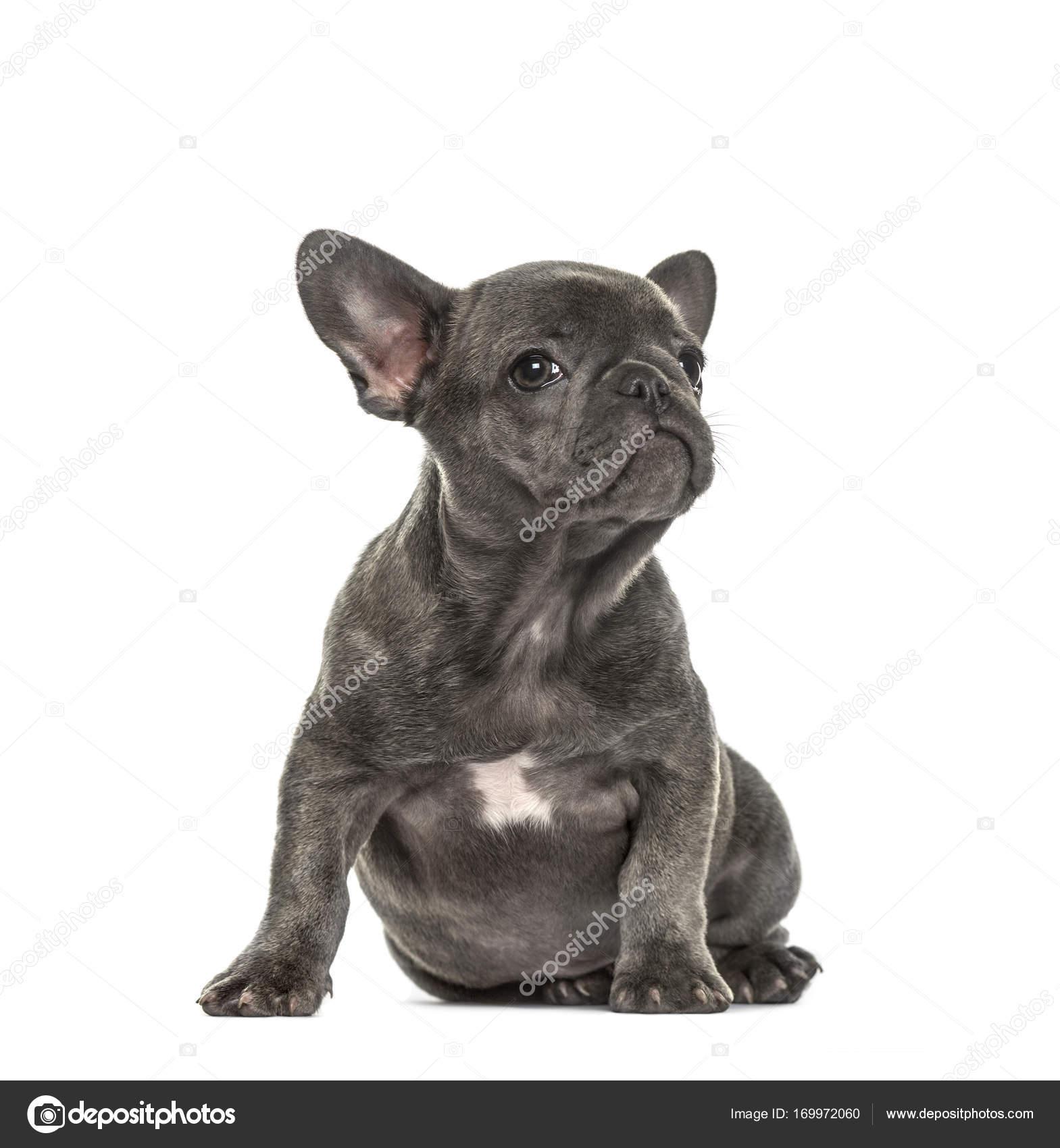 Cucciolo Di Bulldog Francese Grigio Seduto Isolato Su Bianco Foto