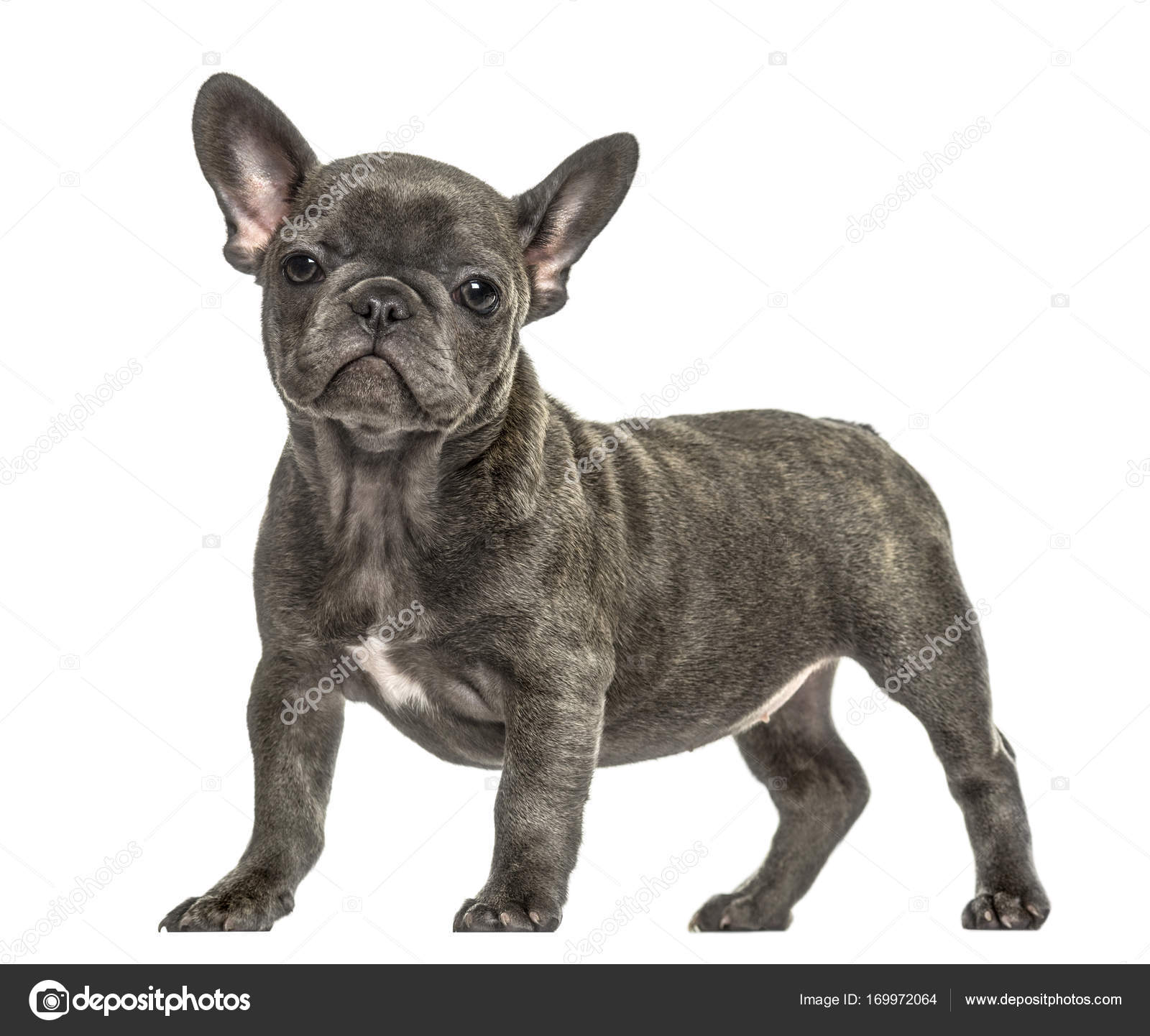 Condizione Del Cucciolo Di Bulldog Francese Grigio Isolato Su
