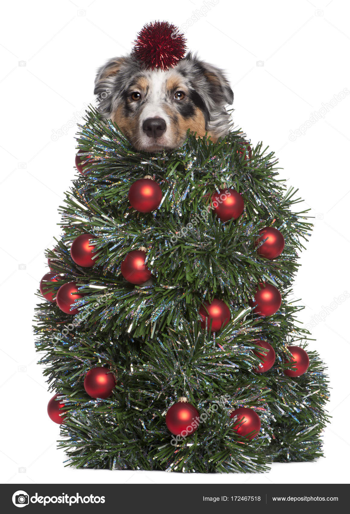Australian Shepherd dog dressed as Christmas tree, 7 months old, in ...