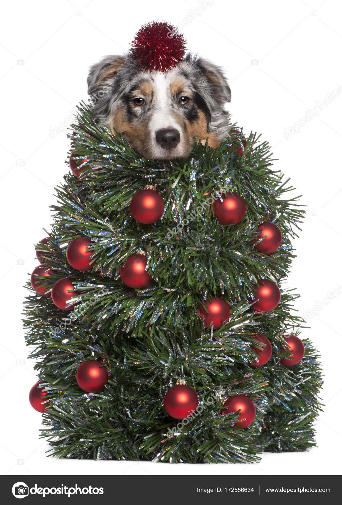 Australian Shepherd dog dressed as Christmas tree, 7 months old, in ...