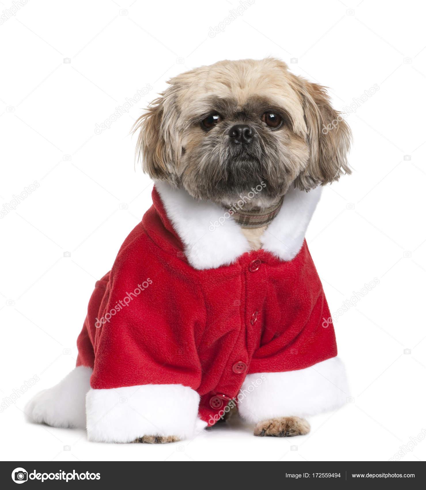 Shi Tzu Em Fantasia De Papai Noel 3 Anos De Idade Sentado