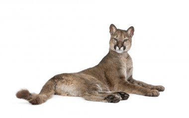 Portrait of Puma cub, Puma concolor, 1 year old, lying against w