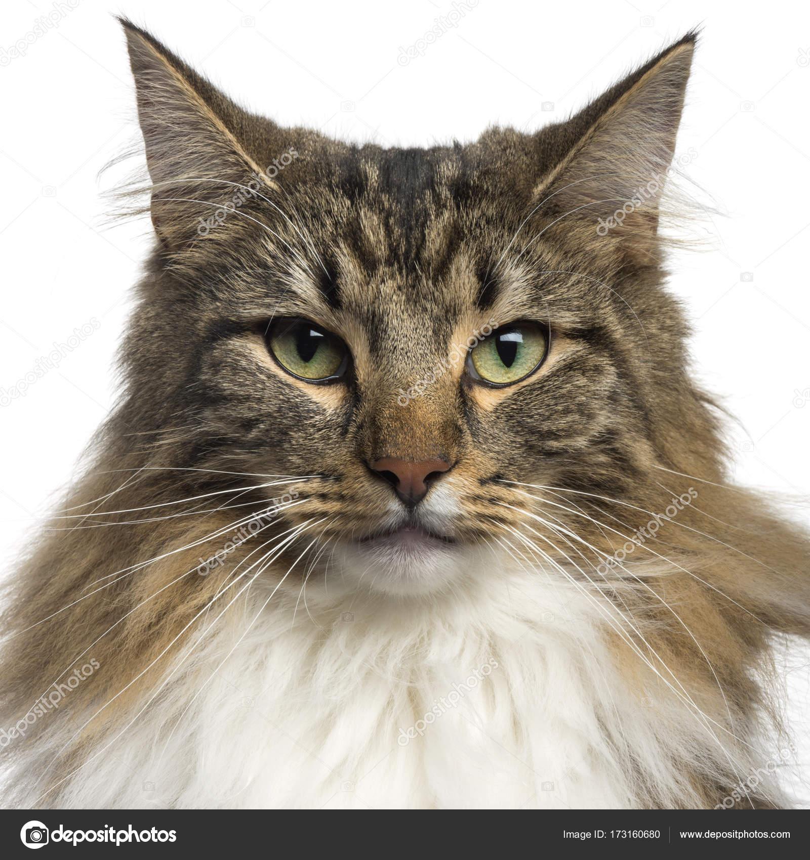 Zbliżenie Kot Norweski Leśny Na Białym Tle Zdjęcie Stockowe