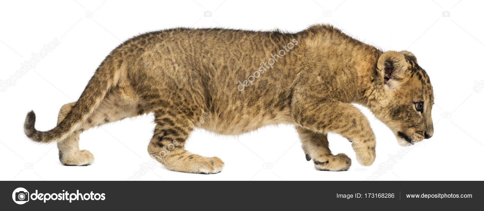 Side view of a Lion cub walking, curious, 7 weeks old ... - photo#26