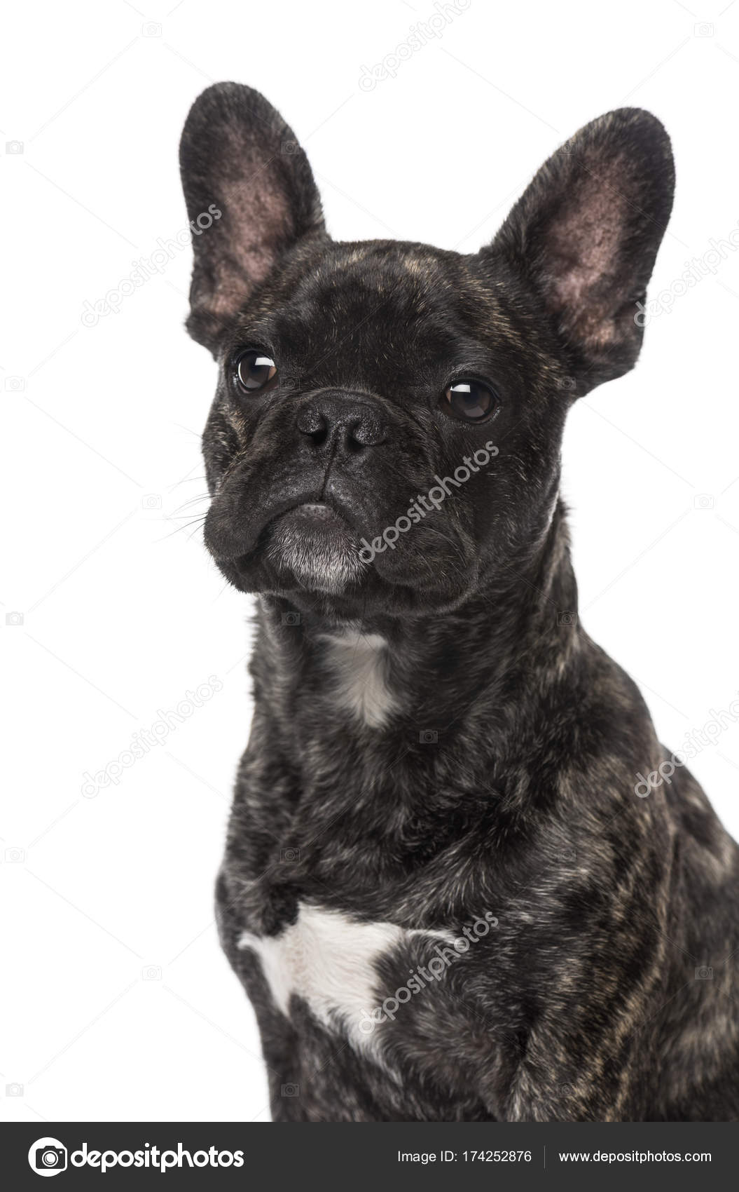 French Bulldog Puppy 5 Months Old Stockfoto Lifeonwhite 174252876