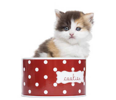 Front view of a Highland straight kitten in a cookie box, isolat