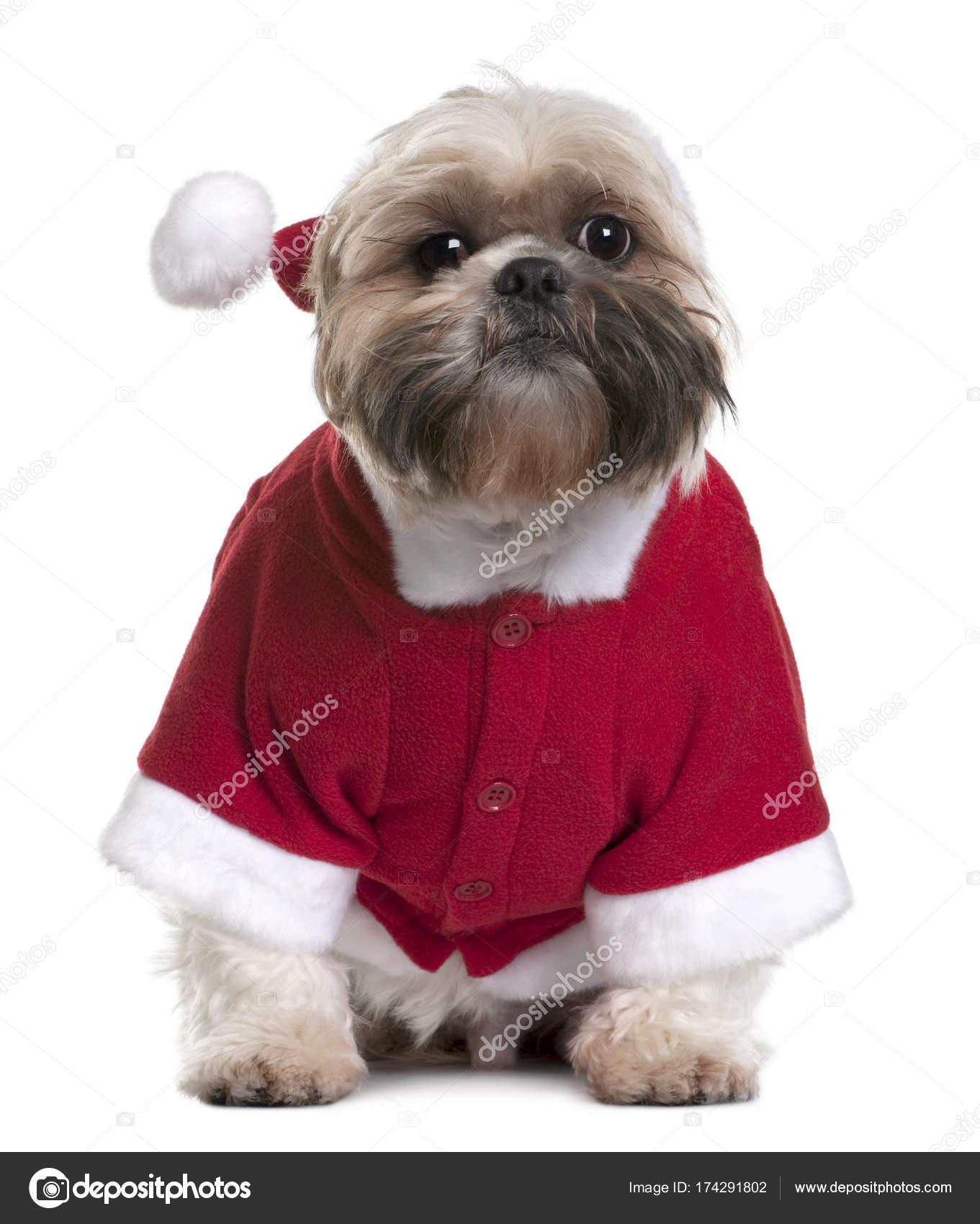 Shi Tzu Em Fantasia De Papai Noel 2 Anos De Idade Sentado