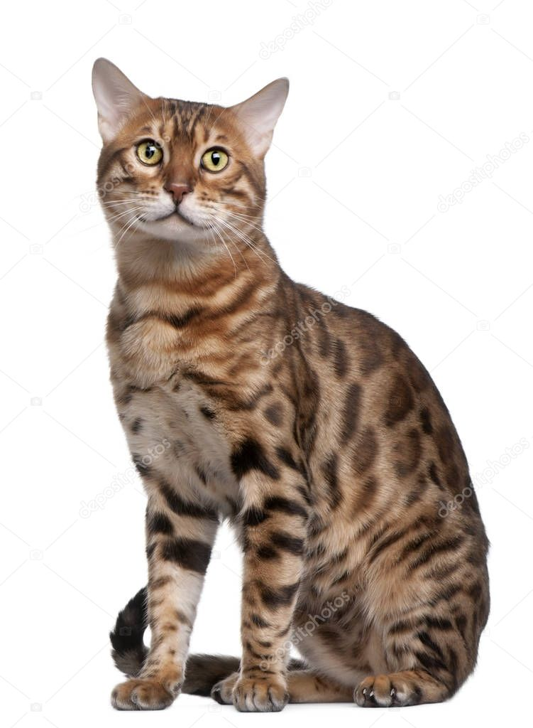 Bengal Cat, 18 Months Old, In Front Of White Background