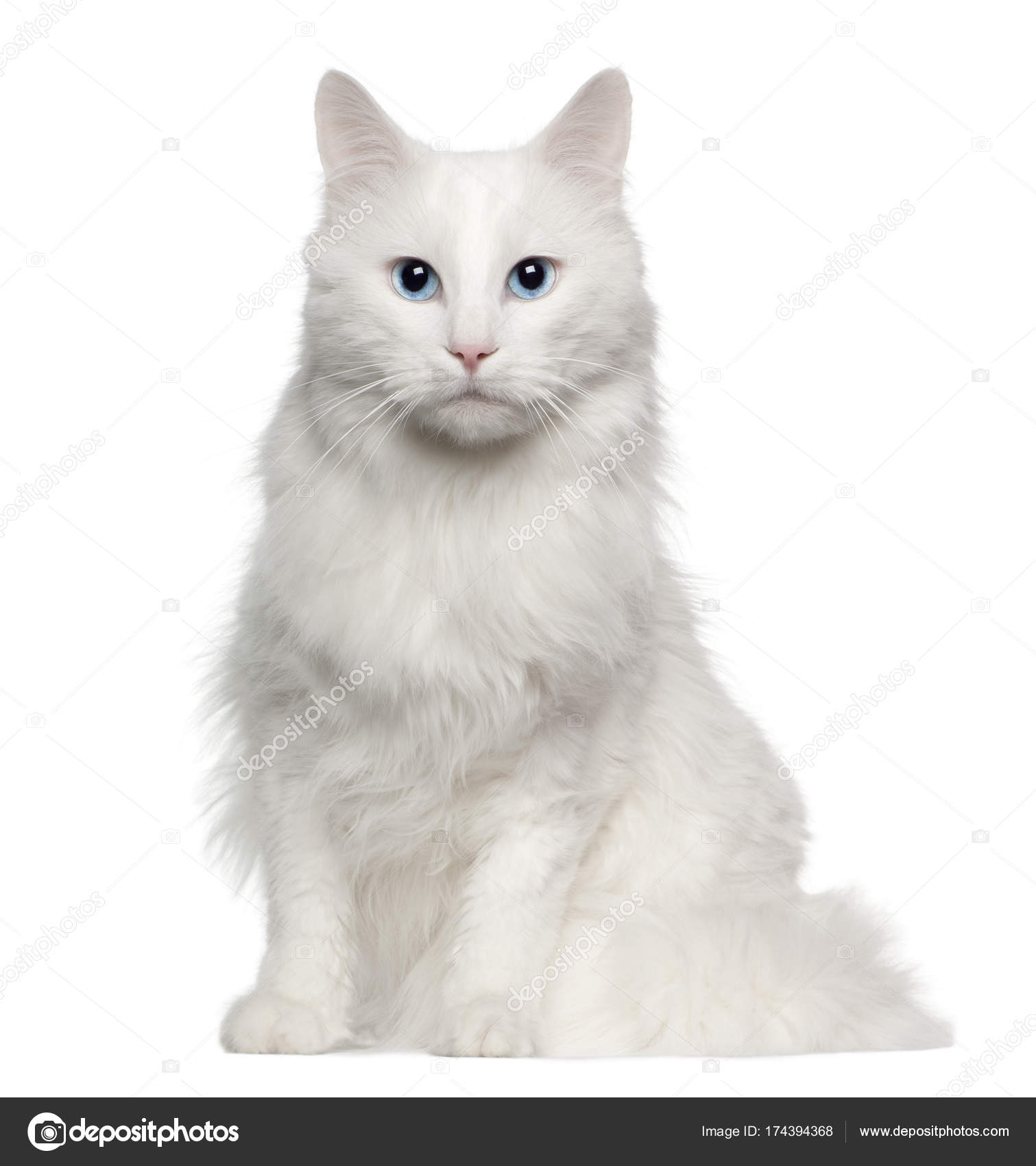 Portrait Of Turkish Angora Cat 4 Years Old Sitting In Front Of