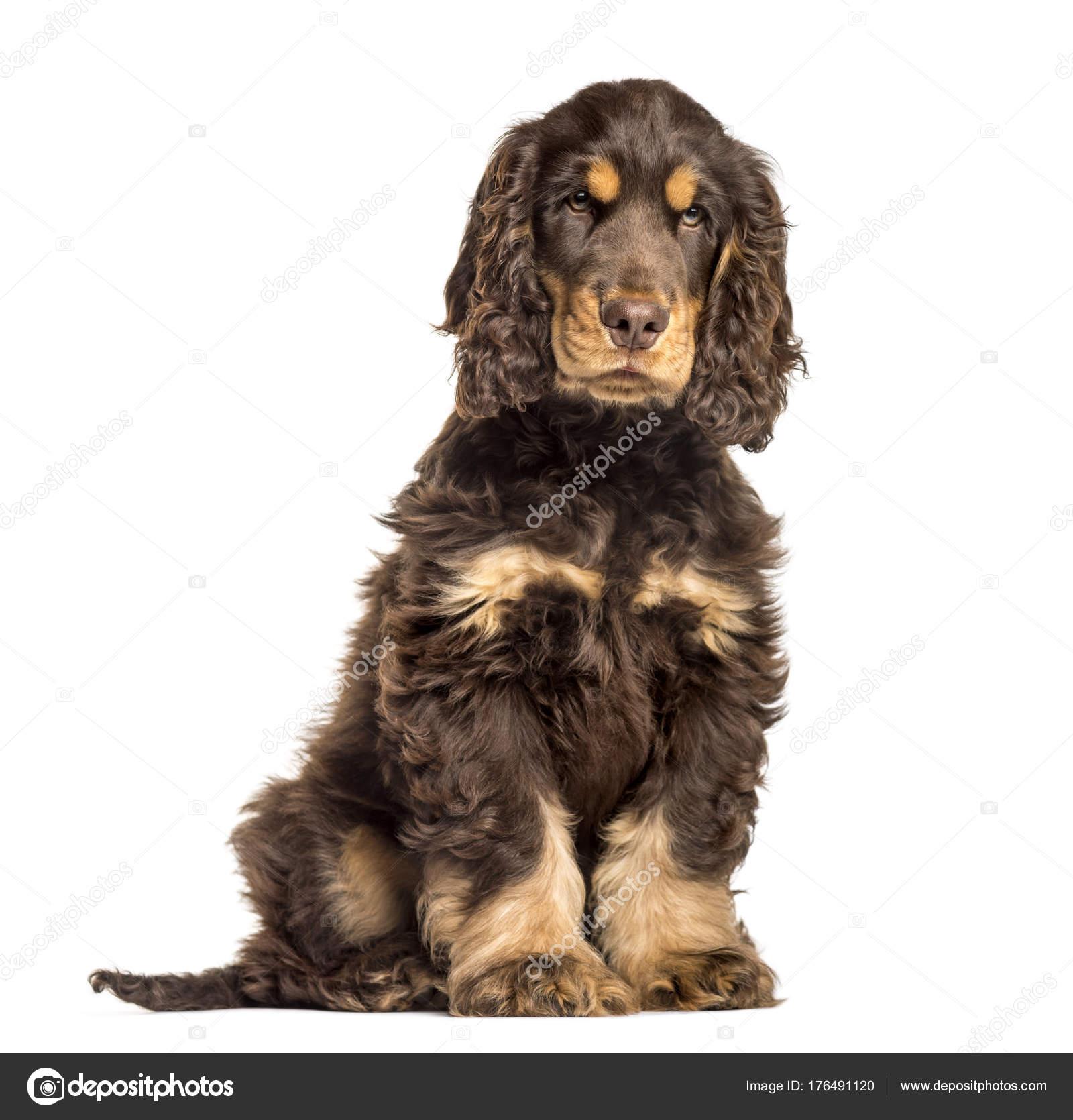 brown cocker spaniel dog sitting stock photo lifeonwhite 176491120