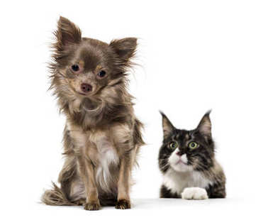 Mixed breed dog watched by Maine Coon cat against white backgrou
