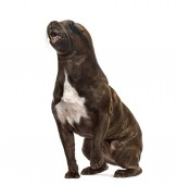 Photo chimera with French Bulldog sitting and head of California Sea L