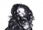 Photo Jacobin pigeon portrait against white background
