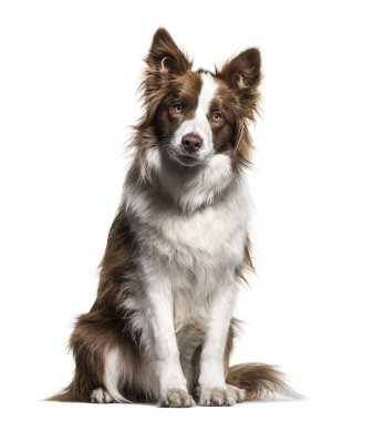 Border Collie, 1 year old, sitting against white background