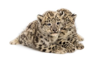 Two Snow Leopard cubs, Panthera uncia, 1,5 month