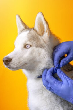 Wearing an antiparasitic collar on a husky dog by a veterinarian in sterile gloves. Pet care. Prevention of encephalitis in veterinary hospitals 2021.