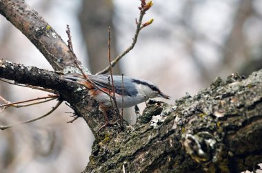 The Eurasian nuthatch (or wood nuthatch, Sitta europaea) found and grabbed a spider.