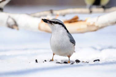The Eurasian nuthatch or wood nuthatch (Sitta europaea) with a sunflower seed on a snow background.