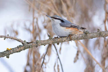 Wood nuthatch sits on a branch covered with lichen.