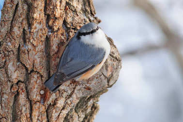 Wood nuthatch sits on a large pine tree, turning to the photographer.