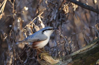 Wood nuthatch sits on a log against the background of a dry grass (sun reflect in eye).