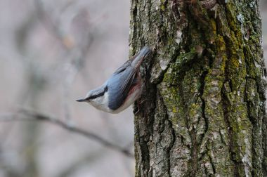 Eurasian nuthatch took a characteristic position on a tree covered with lichen.
