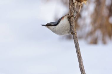 Wood nuthatch hangs on the stalk of sunflower.