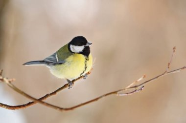 Great tit sits on the tip of a thin branch, its beak is covered with snow.