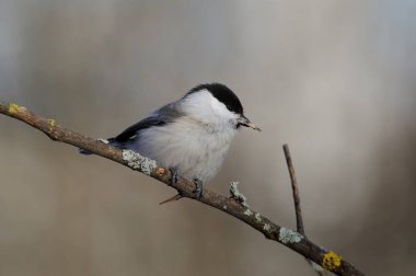 Willow tit sitting on a thin twig with peeled sunflower seeds in the beak.