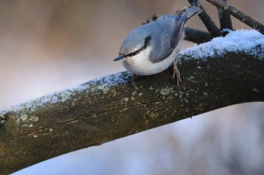 Eurasian nuthatch saw the prey and prepared to rush at it.