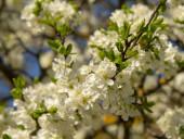 Plný rám elegantní švestkový květ jako pozadí. Jarní pozadí. Selektivní soustředění. Čerstvé aromatické šeříkové květy. Alergen. A