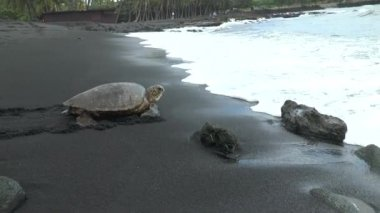 a huge sea turtle crawls into the waters of the Pacific Ocean