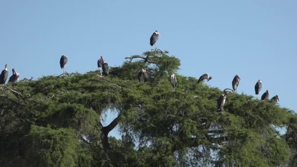 Marabu africkými distribuce ve většině subsaharské Afriky