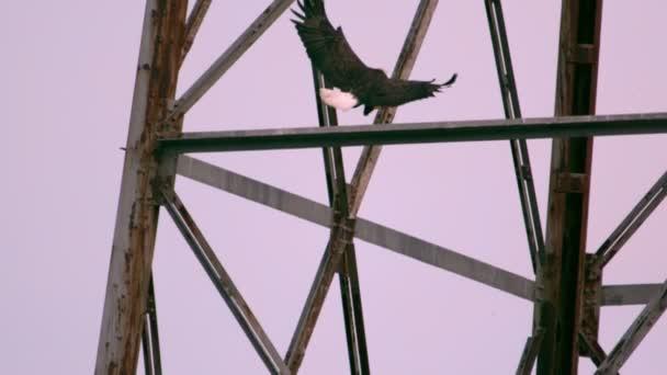 Weißkopf-Seeadler, die Landung am Turm