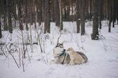 Fotografia cani husky