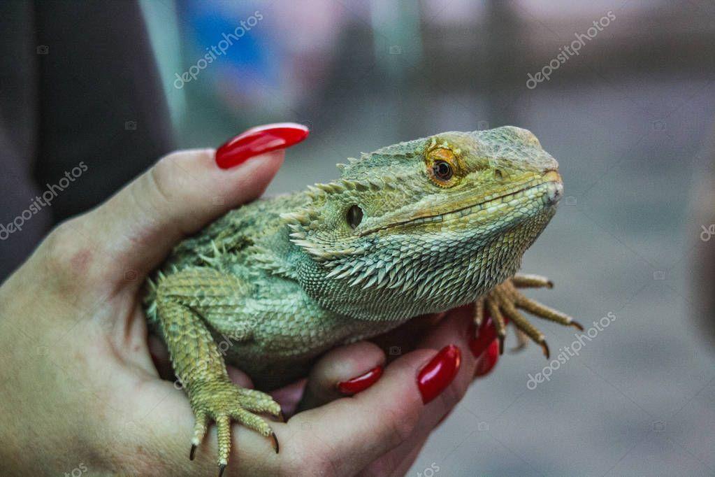 closeup of a green lizard holding in hands