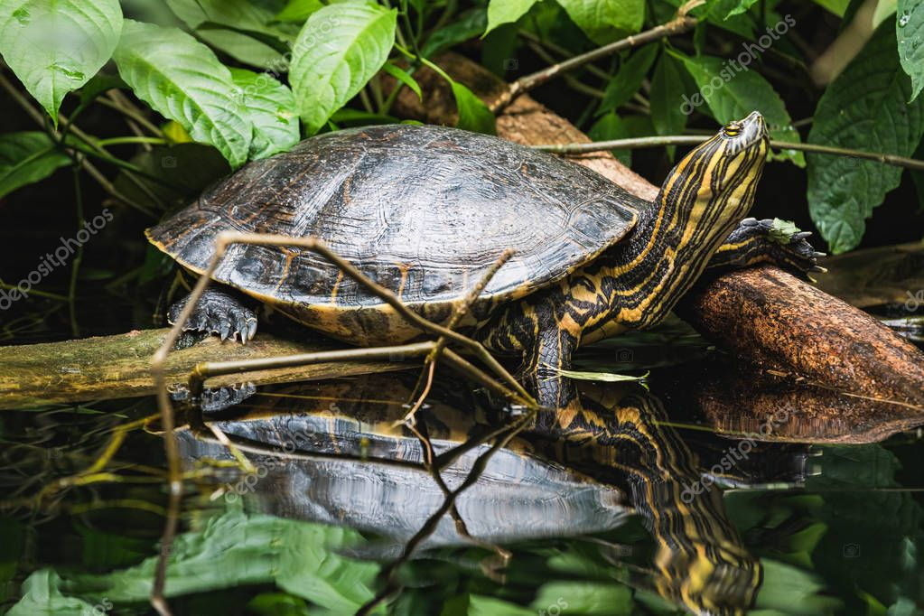 Closeup of a trachemys scripta yellow slider turtle at water