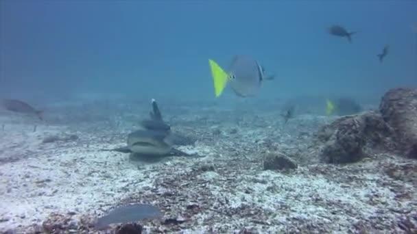 Riff-Sandhaie beim Tauchen in Galapagos