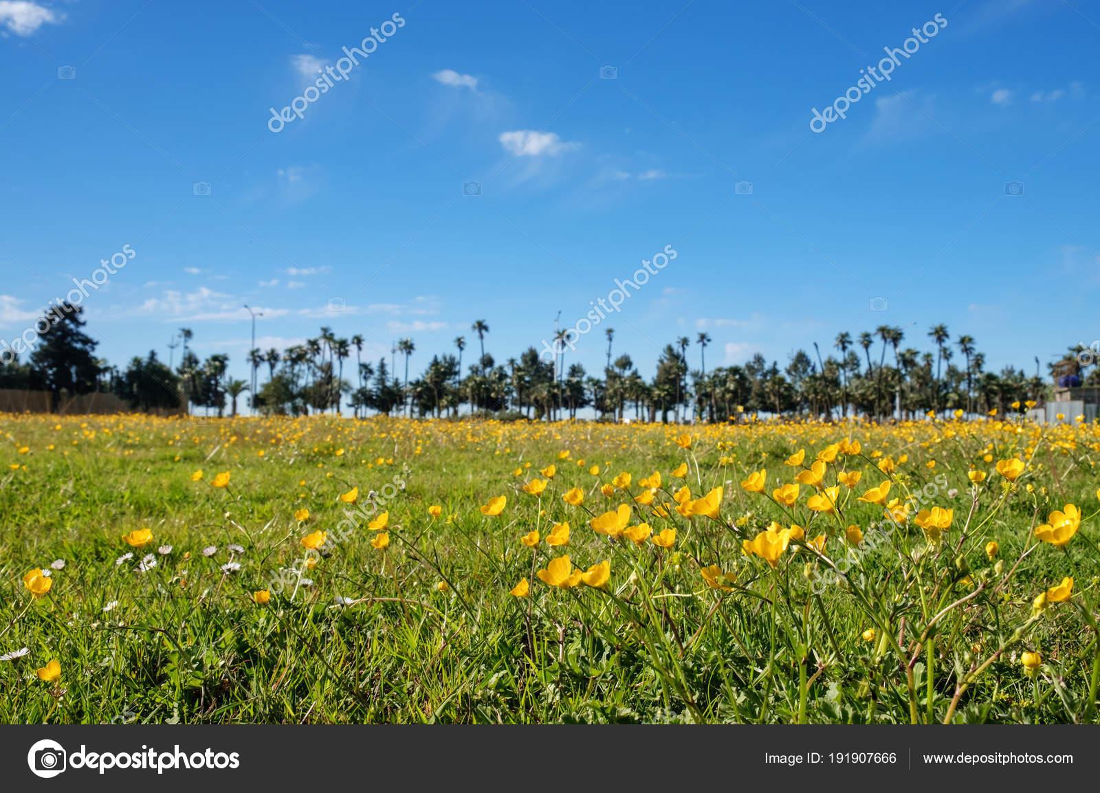 Field Of Yellow Flowers Stock Photo Naskami 191907666