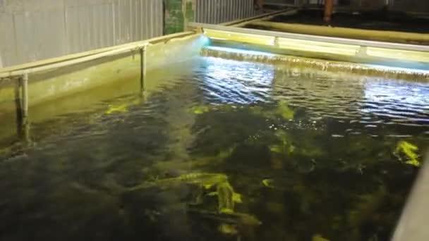 Beluga on a fish farm swims in a large aquarium