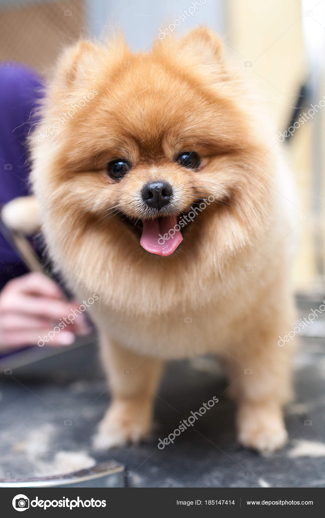 Grooming Dog Haircut Stock Photo Yemets 185147414