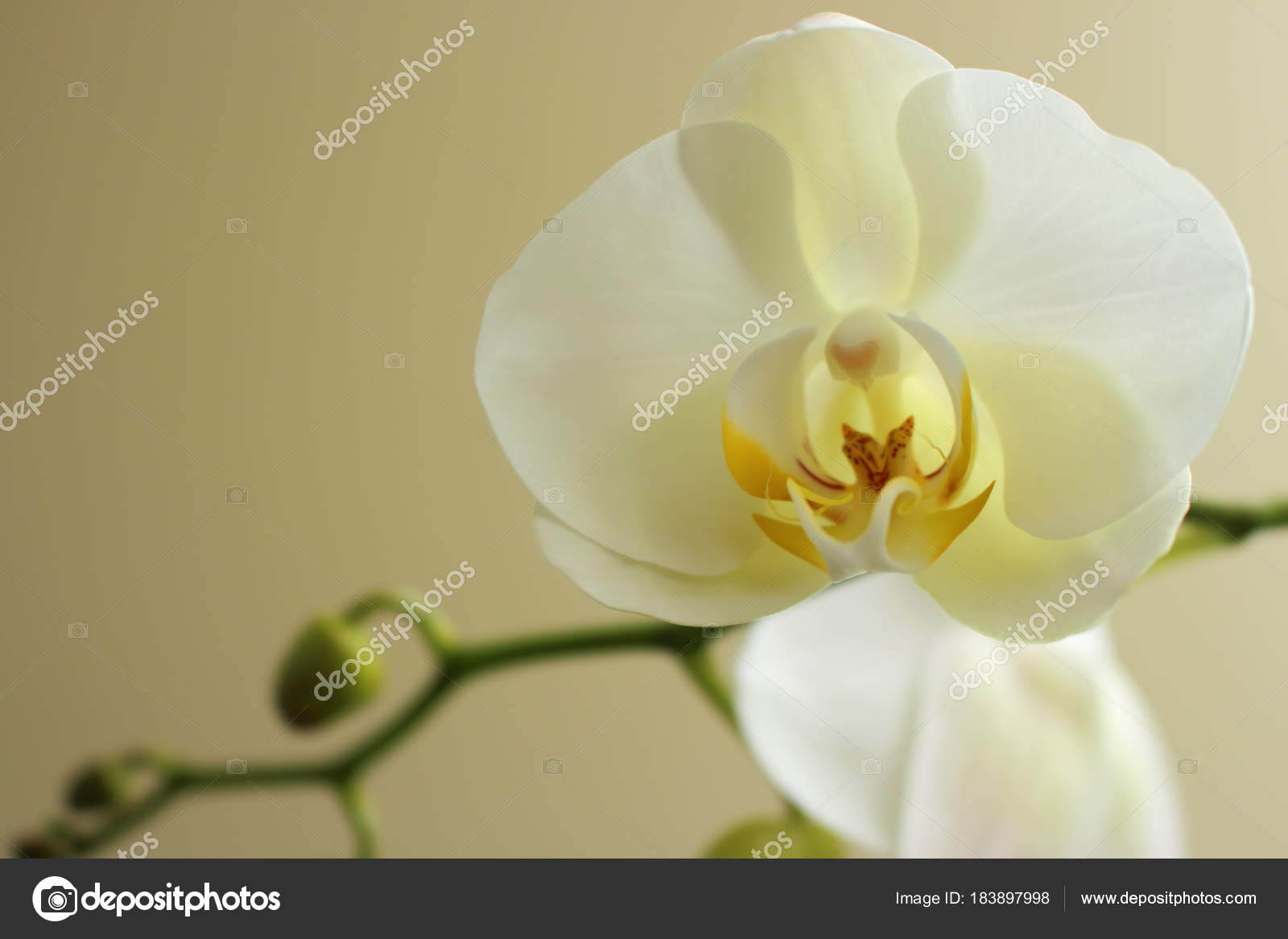 White flowering orchid close beige background orchid stem buds white flowering orchid close beige background orchid stem buds flowers stock photo mightylinksfo