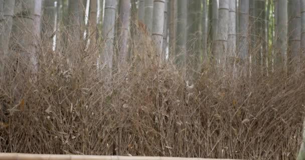 Žena v kimonu procházkách Kjótský bambusový Les