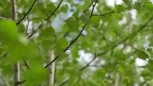 Listy břízy ve větrném dni.