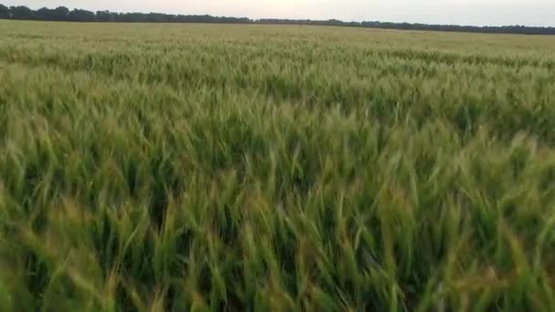 Flight over the wheat field in sunset. Aerial view