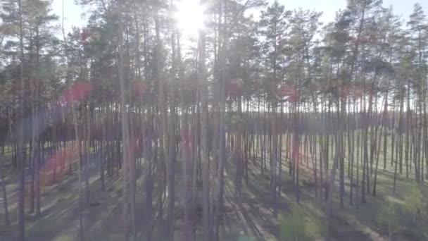 Nízký let na helikoptéra prostřednictvím kmeny stromů v borovém lese s plynulým fotoaparátu nahoru.