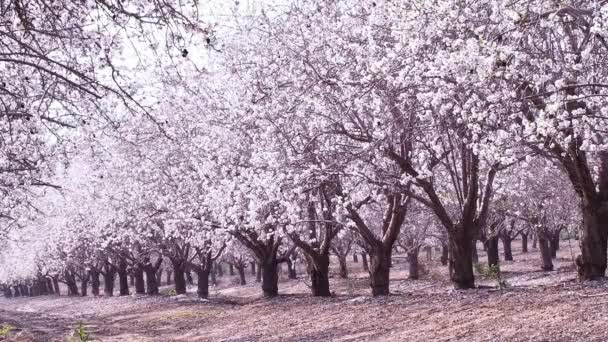 Beautiful garden with pink and white flowering almond tree