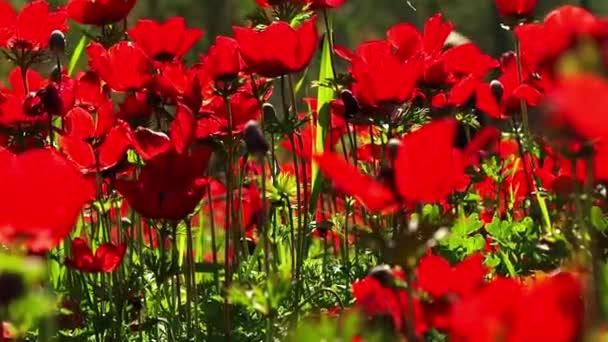 Krásné červené sasanky na jaře a v zimě v Izraeli.
